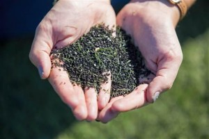 人工草坪填充的橡胶颗粒,来自粉碎后的废旧轮胎,通常它们含有苯,砷,铅等致癌物,并且在高温照射下会释放出有机化合物气体